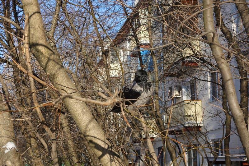 Raaf op een boom De raaf zit op een boom zonder bladeren dichtbij de huizen De winter Rusland stock fotografie