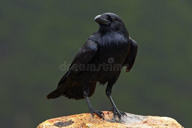 Raaf, zwarte bosvogel, die op de steen, donkere regenachtige dag, aardhabitat zitten stock foto's