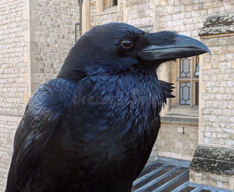 Raafvogel in Londen royalty-vrije stock foto's