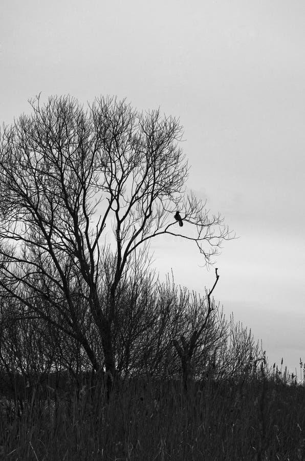Raafzitting op leafless naakte takken van een boom, donkere foto royalty-vrije stock foto's