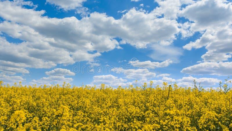 Raapzaad, als verkrachting, koolzaad, rapa, rappi ook wordt het bekend die, rapaseed Gebied van helder geel raapzaad in de zomer royalty-vrije stock afbeelding