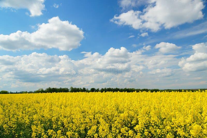 Raapzaad of Brassica napus, ook als verkrachting en koolzaad wordt bekend is een helder geel het bloeien lid van de familie Brass stock foto's