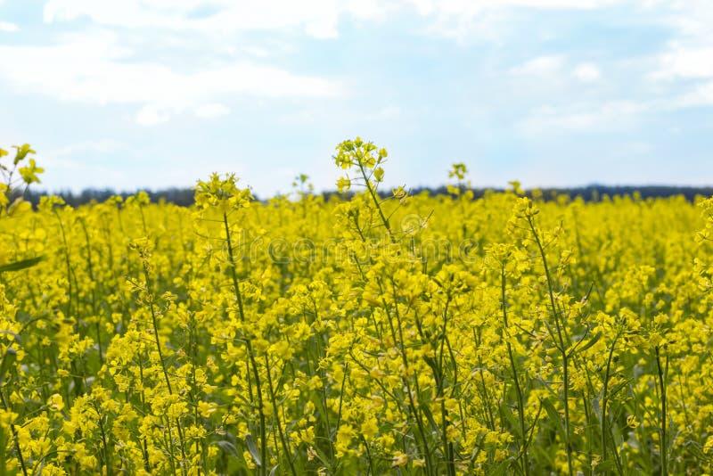 Raapzaadbrassica de verkrachting van het napus oliehoudende zaad, Gebied van helder geel raapzaad stock foto's