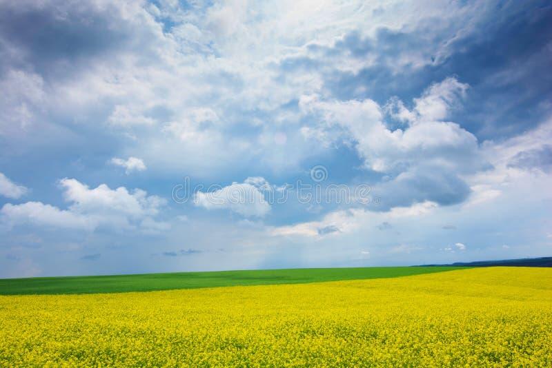 Raapzaadgebied, Bloeiende canolabloemen dicht omhoog Verkrachting op het gebied in de zomer Heldere Gele raapzaadolie Het bloeien stock foto
