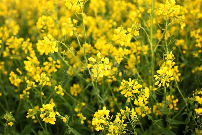 Raapzaadgebied, Bloeiende canolabloemen dicht omhoog Verkrachting op het gebied in de zomer Heldere Gele raapzaadolie Bloeiend ra royalty-vrije stock foto
