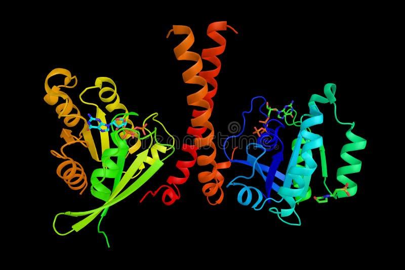 Rab11 proteína deinteração 3, uma proteína com papéis reguladores ilustração do vetor