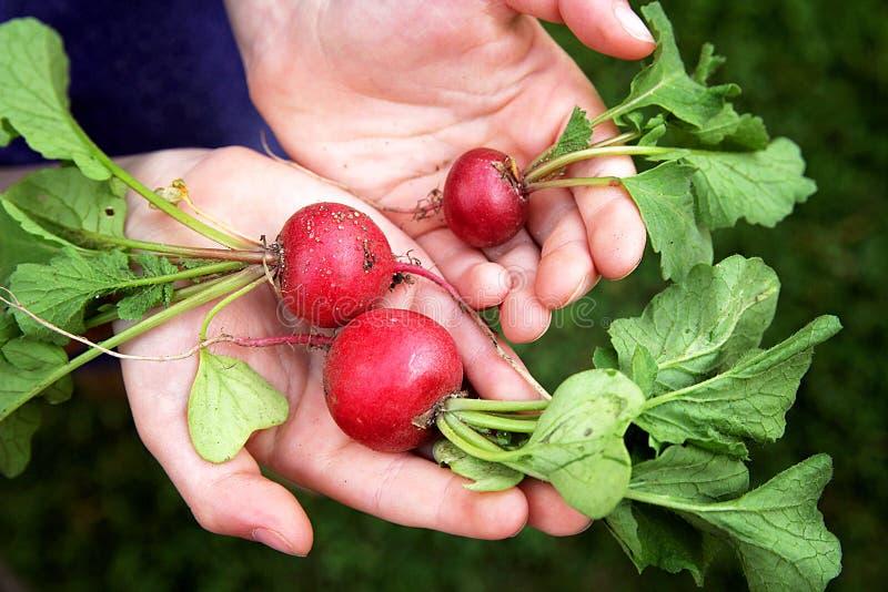 Rabanetes crus frescos do jardim da terra arrendada das mãos da jovem criança imagem de stock