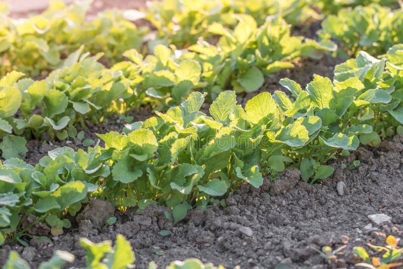 Rabanetes novos em uma cama vegetal do jardim no por do sol fotografia de stock