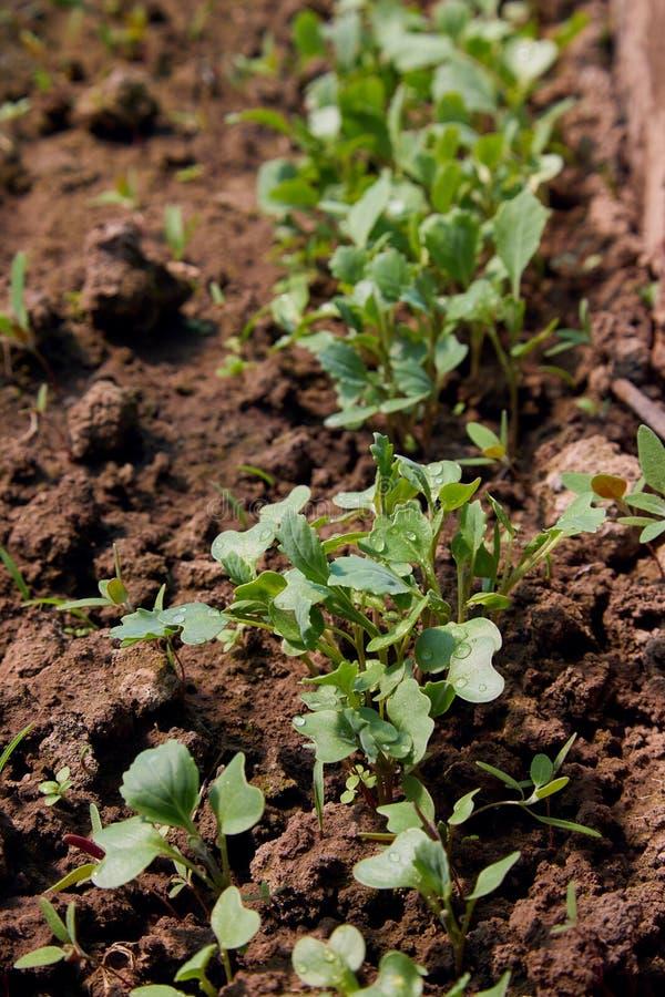 Rabanetes novos na terra no jardim imagem de stock