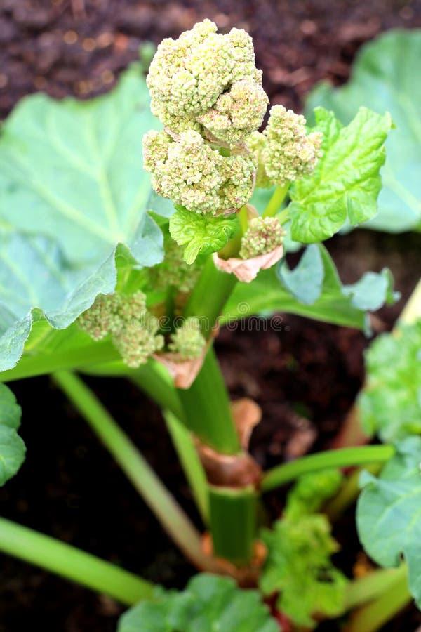 Rabarbarowy kwiat obraz royalty free