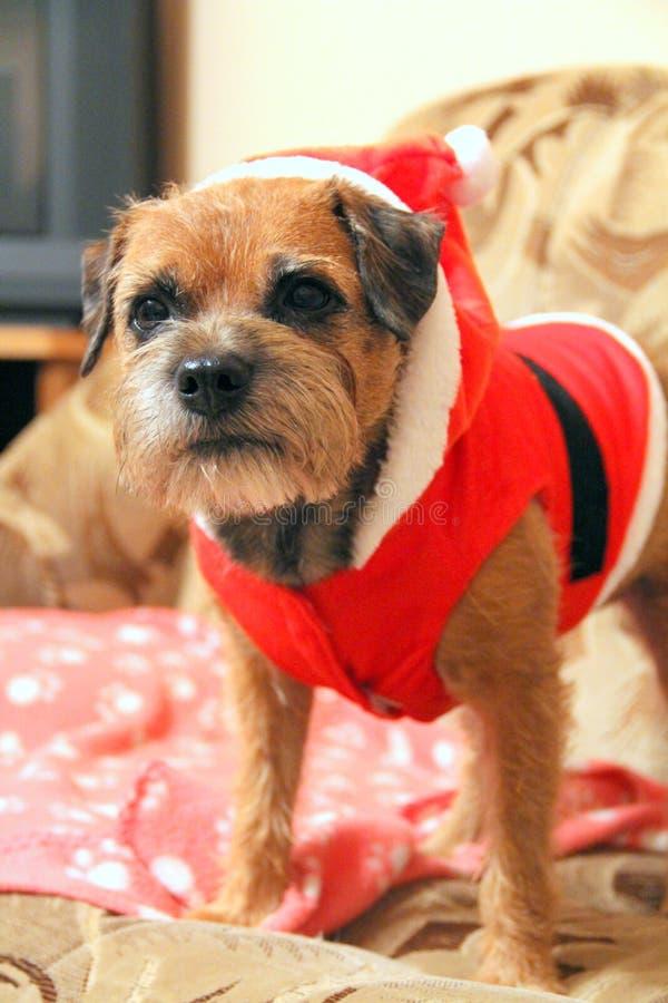 Rabatowy Terrier zdjęcia royalty free