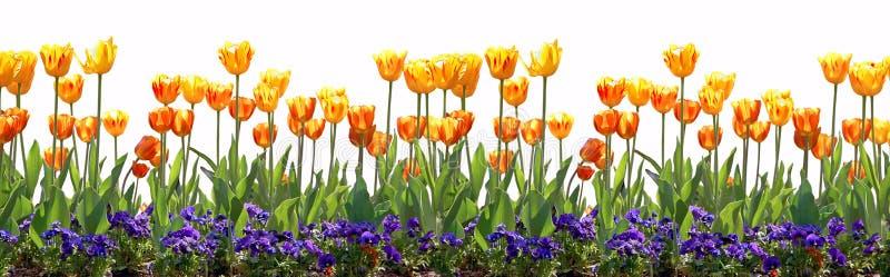 rabatowy tulipan zdjęcia stock