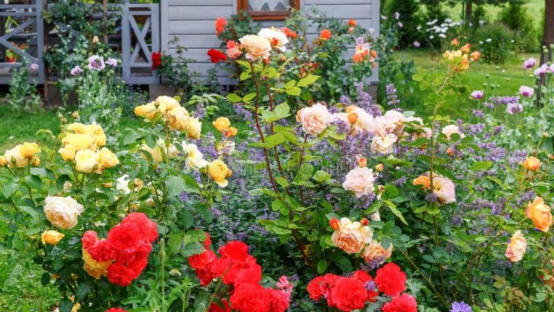 Rabatt av röda, gula orange rosor på bakgrunden av ett litet trähus, lantlig stil, utomhus- sommar arkivbild