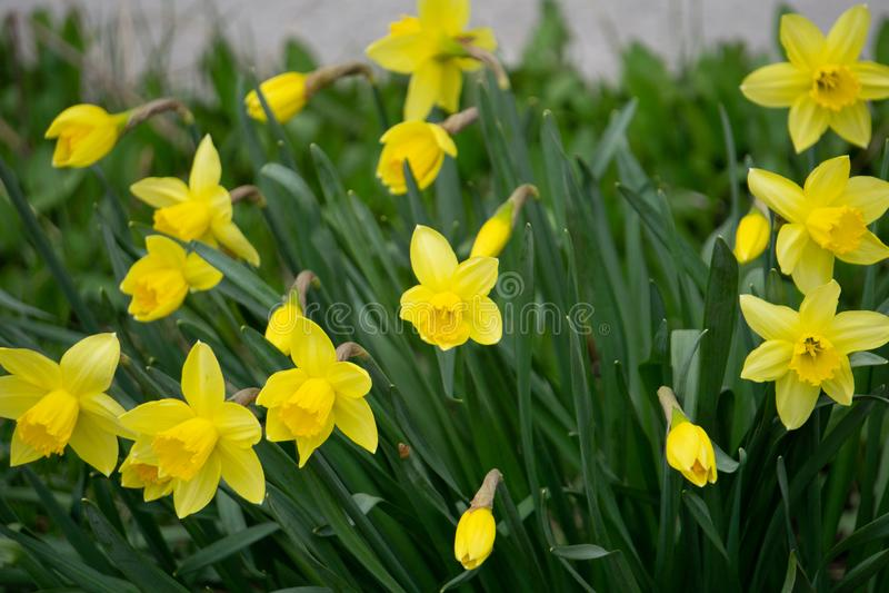 Rabatt med gula p?skliljablommor som blommar i den Keukenhof v?rtr?dg?rden fr?n Lisse- Nederl?nderna arkivfoto