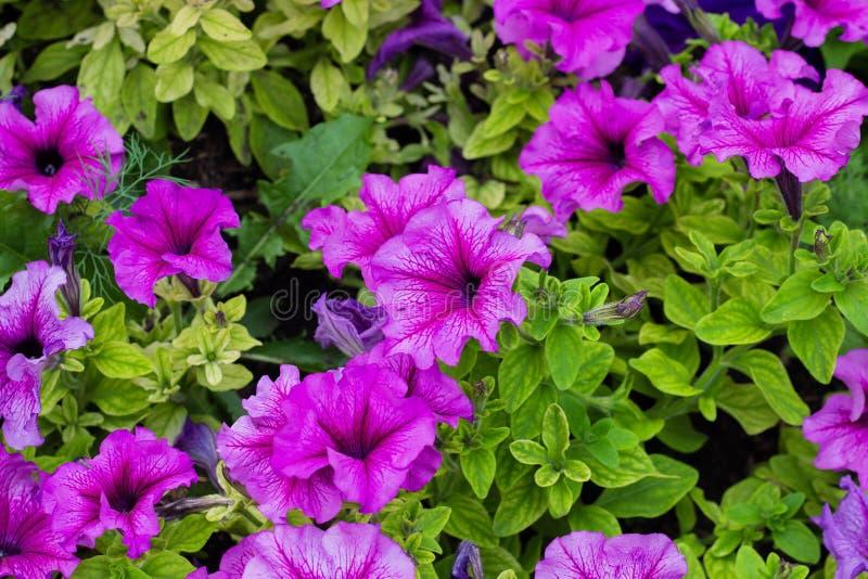 Rabatt med purpurfärgade petunior, slut upp, petuniablommor blommar, petuniablomningen royaltyfri bild