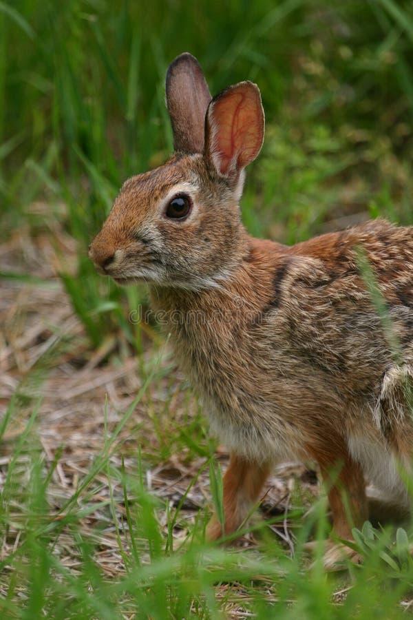 Download Rabbit stock photo. Image of looking, alert, nature, herbivores - 1030870