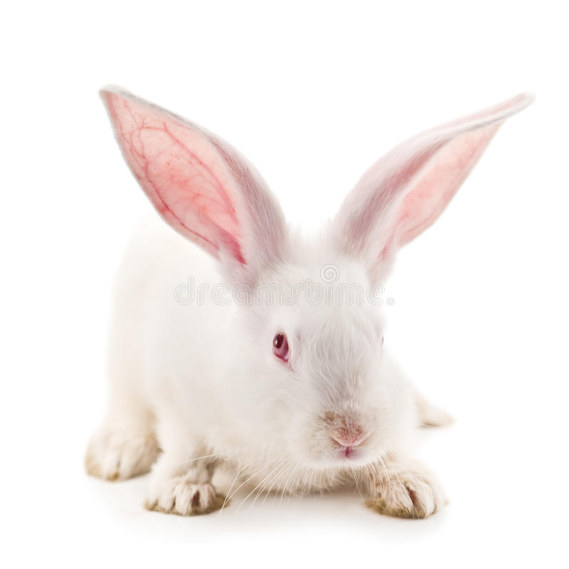 Rabbit. Isolated on white background stock photography