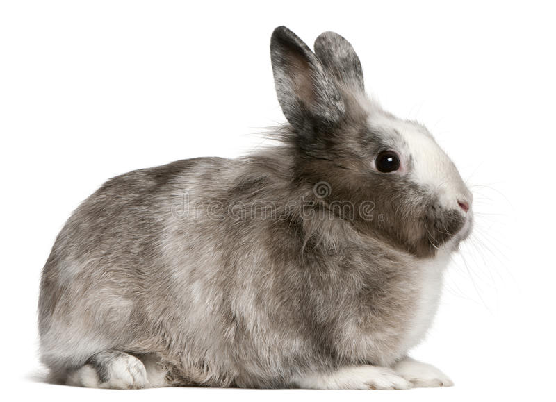 Download Rabbit, 11 Months Old, Sitting Stock Photo - Image: 17124826