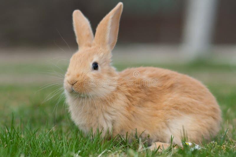 Rabbit royalty free stock photography