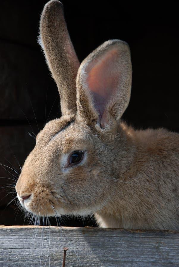 Free Rabbit Stock Image - 14473291