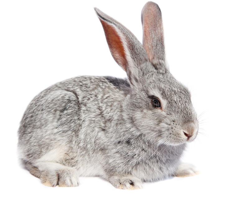 Download Rabbit stock image. Image of cutout, adorable, cute, gray - 15237913