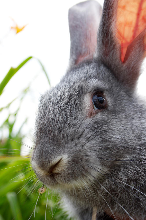 Download Rabbit stock image. Image of bunny, life, event, furry - 16434923