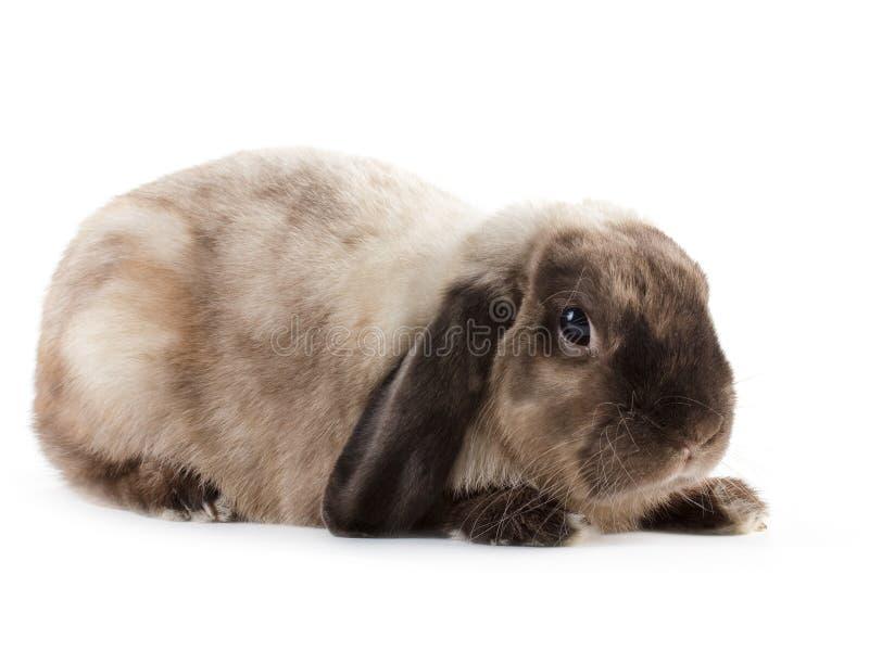Download Rabbit. stock photo. Image of careful, isolated, miniature - 17585880