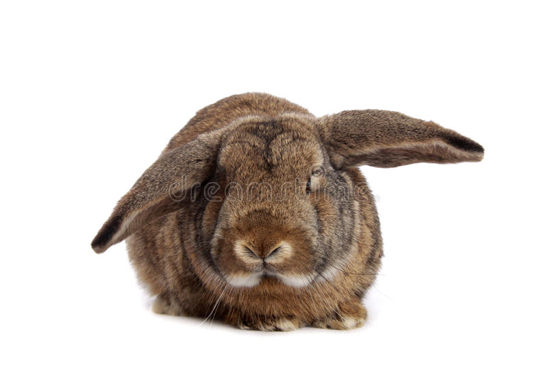 Rabbit. Brown rabbit on white background stock images