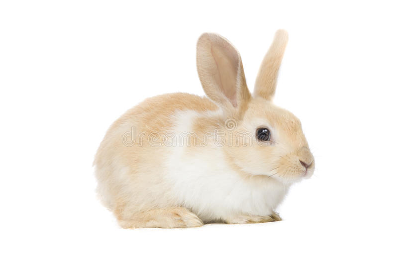 Rabbit. Small Brown Rabbit isolated on white backgorund stock images