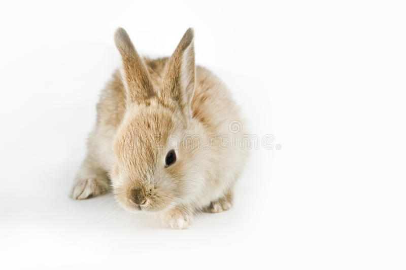 Download Rabbit stock image. Image of domestic, white, bunny, fluffy - 19000669