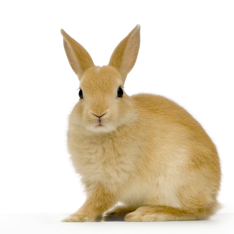 Rabbit. Against whit background looking at the camera
