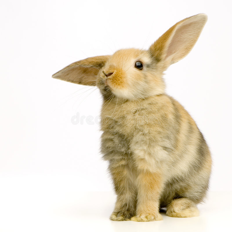 Rabbit. Watching the camera in front of a white background