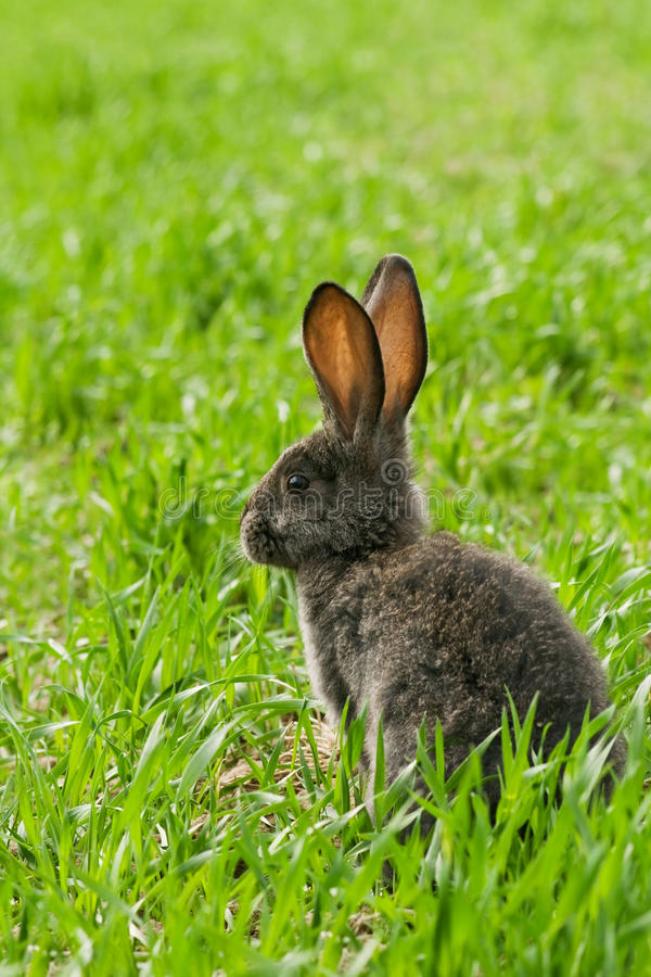 Download Rabbit Stock Photography - Image: 24651682