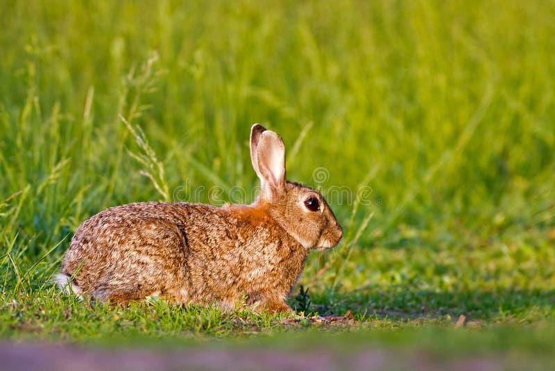Download Rabbit stock image. Image of feeding, immature, wildlife - 25196309