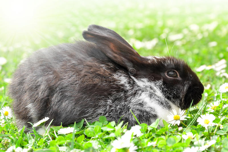 Download Rabbit stock image. Image of domesticated, marguerite - 25985285