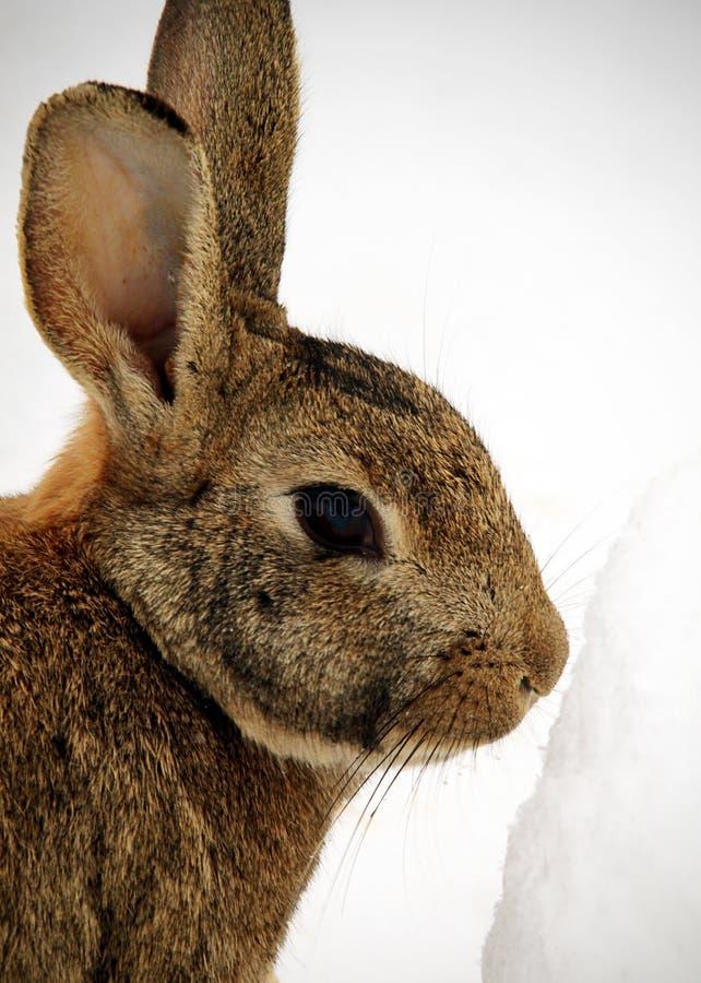 Free Rabbit Stock Photography - 26495082