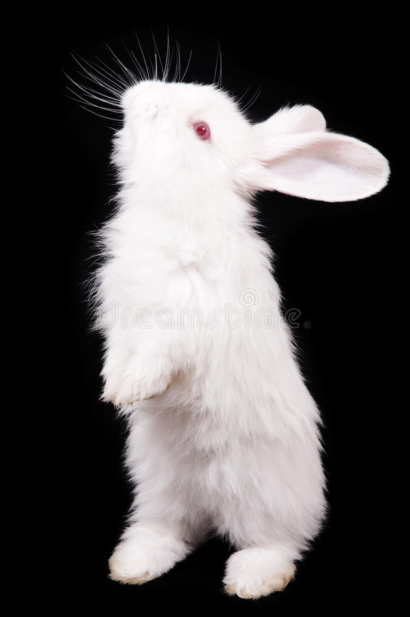 Rabbit. White Rabbit on a black background stock image