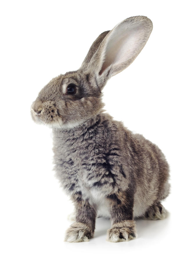 Rabbit. Grey rabbit shot against white background royalty free stock photos