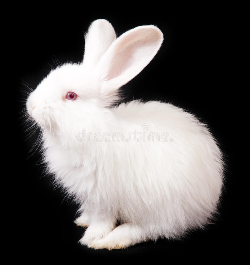 Rabbit. White Rabbit on a black background stock photography