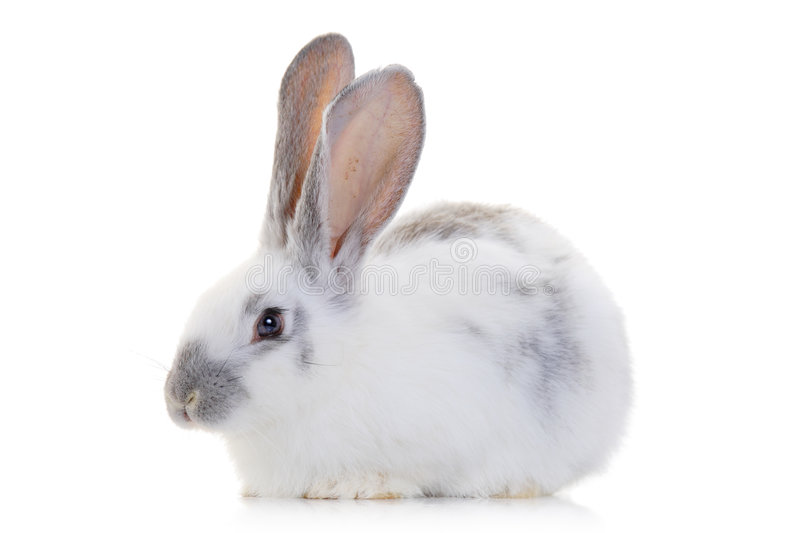 Rabbit. A rabbit isolated against white background royalty free stock photos