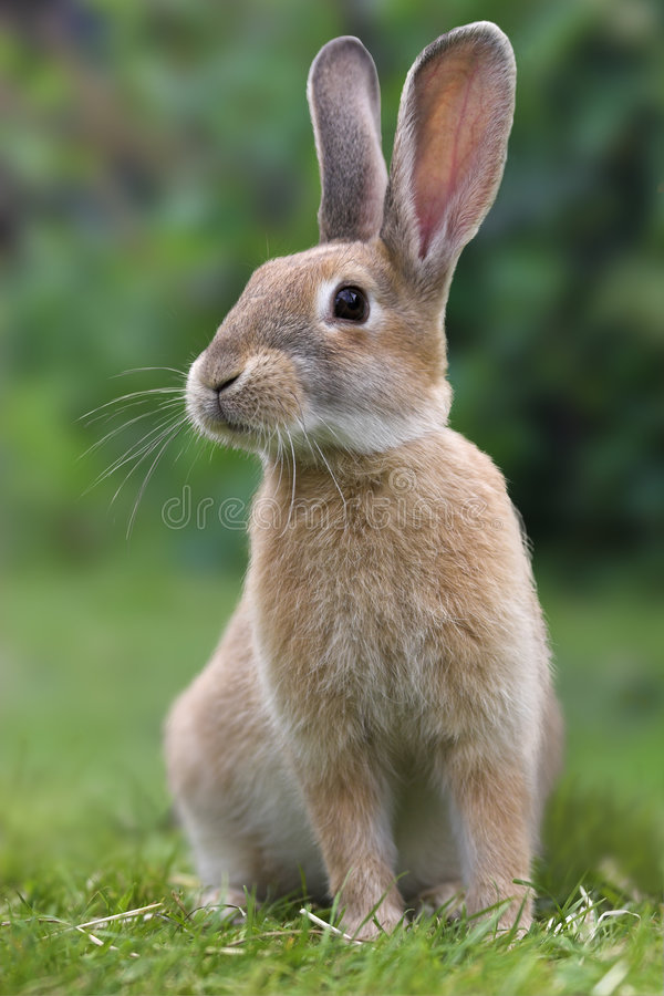 Rabbit. Photograph of a rabbit sitting facing diagonally to the camera with ears held erect stock image