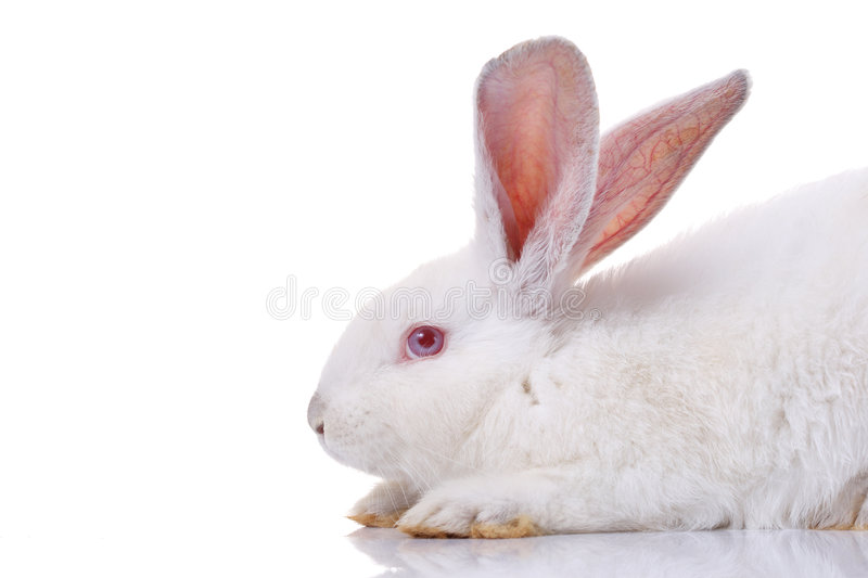 Rabbit. Isolated on white background royalty free stock image