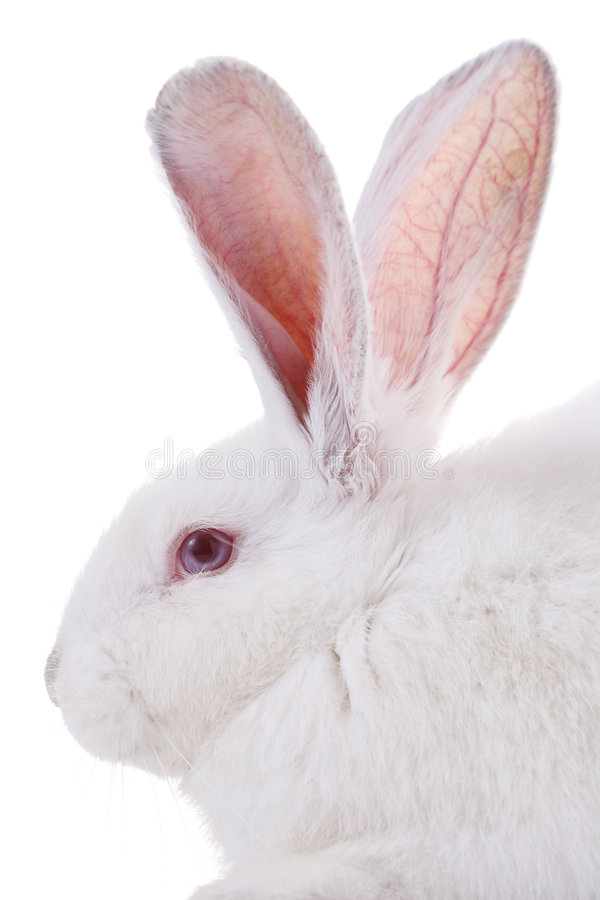 Rabbit. Isolated on white background royalty free stock images