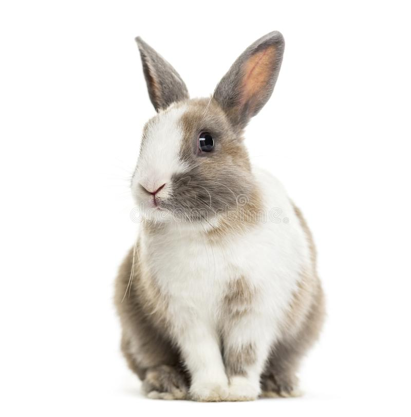 Free Rabbit , 4 Months Old, Sitting Against White Background Stock Photos - 116860153