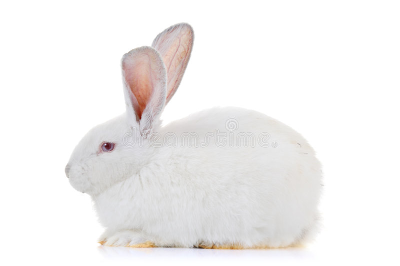 A rabbit. Isolated against white background royalty free stock photos