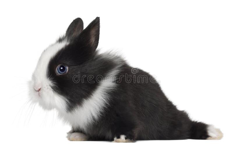 Download Rabbit, 6 months old stock image. Image of studio, nobody - 25519201