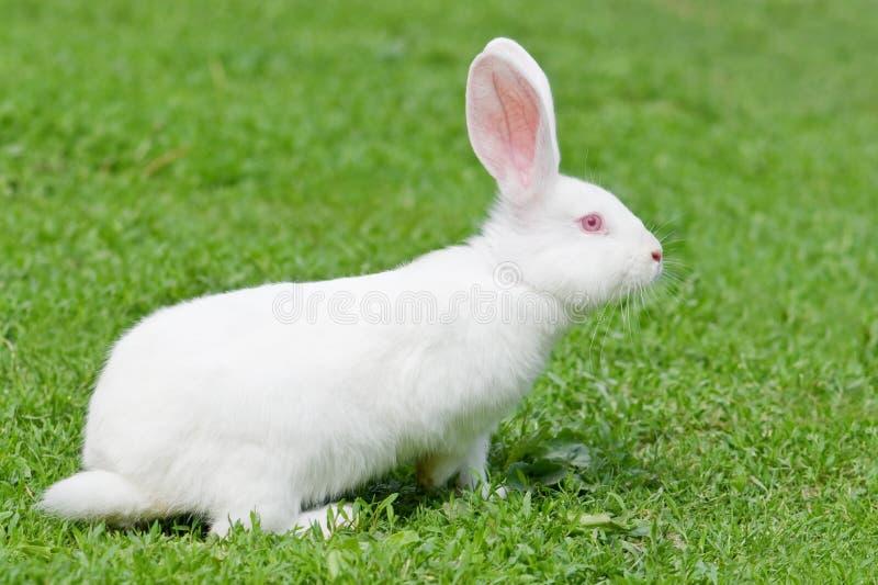 Rabbit. Gray rabbit in grass closeup stock photos