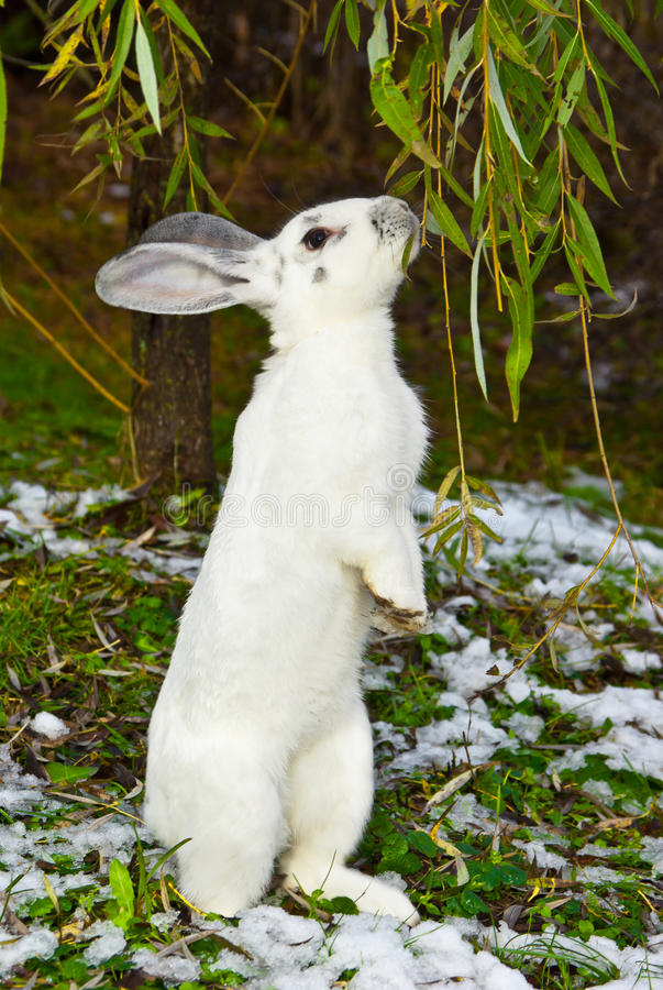Download Rabbit in autumn stock image. Image of hunger, mammal - 27710193