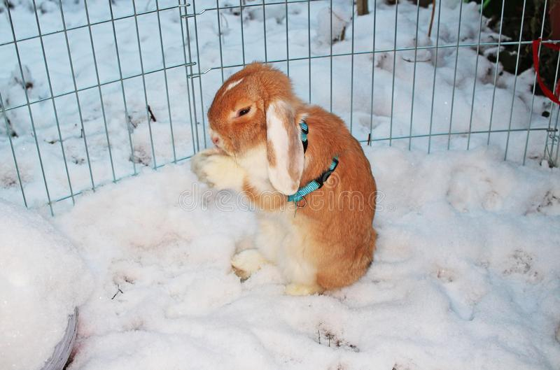 Rabbit bunny winter snow dwarf lop outdoor cold weather rabbits playing in garden animal pet animals pets cute stock photography