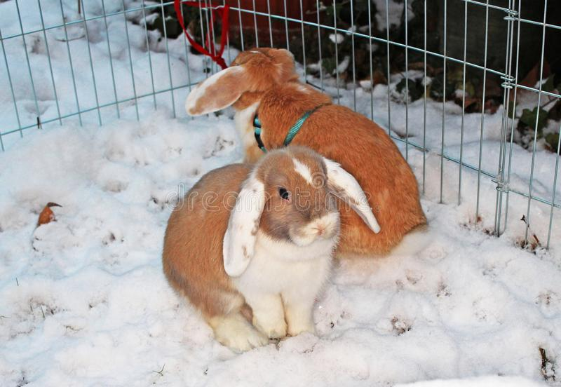 Rabbit bunny winter snow dwarf lop outdoor cold weather rabbits playing in garden animal pet animals pets cute. Rabbit bunny winter snow dwarf lop outdoor cold royalty free stock images